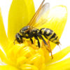 Wasp stings: Some really do hurt more than others, and how to counsel patients